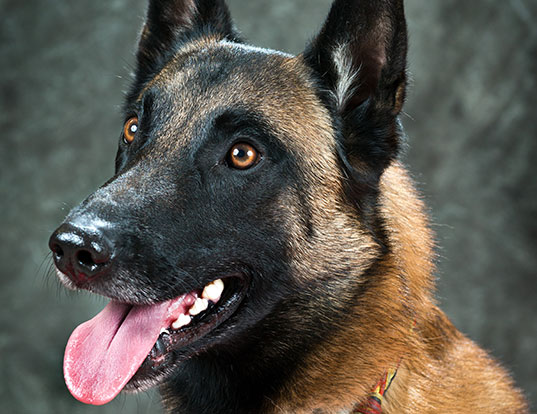 Picture of a belgian malinois
