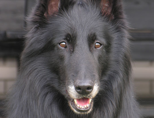 Picture of a belgian sheepdog