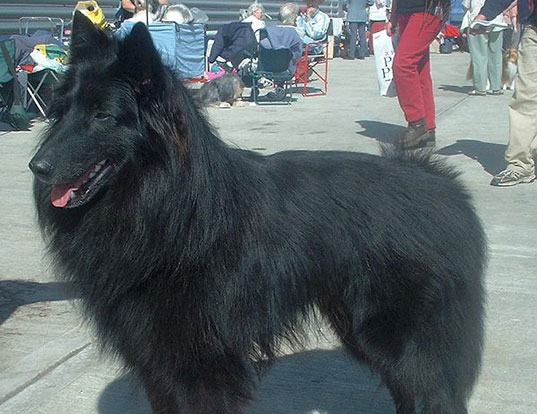 Picture of a belgian shepherd dog