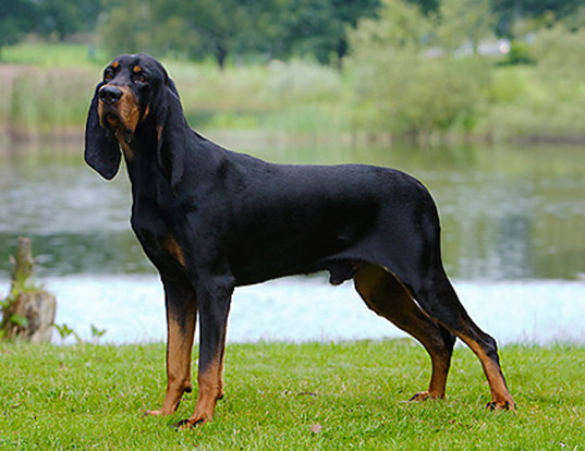 LIFE SPAN OF BLACK AND TAN COONHOUND