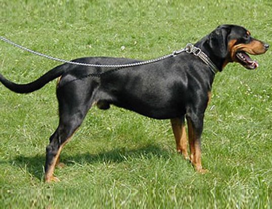 Picture of a black forest hound (slovakian hound)
