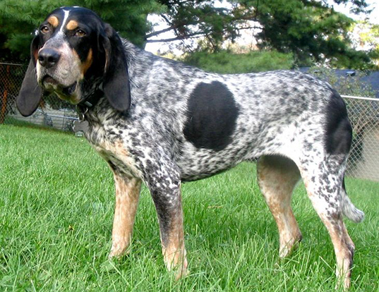 Picture of a bluetick coonhound