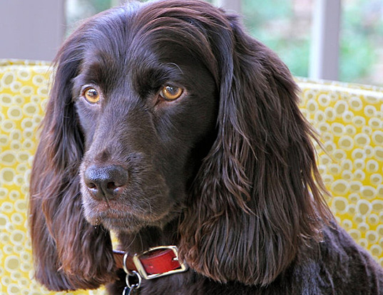 Picture of a boykin spaniel