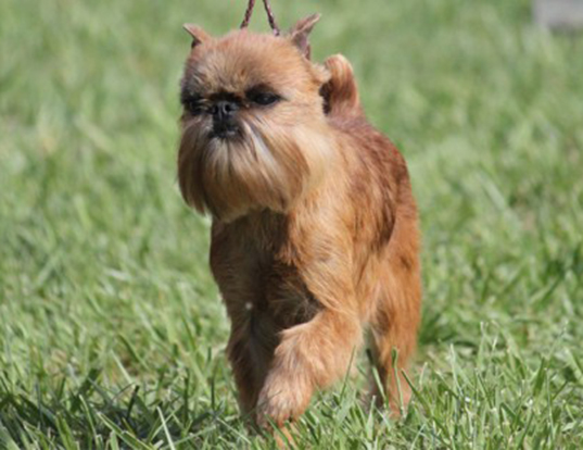 Picture of a brussels griffon