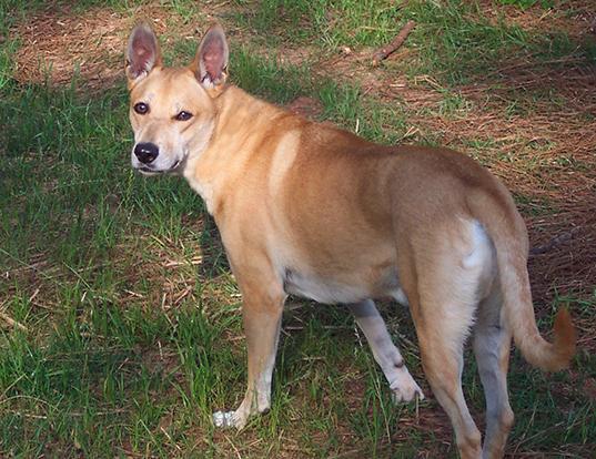 Picture of a carolina dog