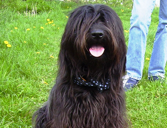 Picture of a catalonian sheepdog