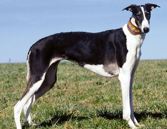 Picture of a chart polski (polish greyhound)