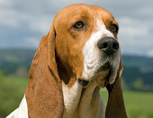 Picture of a chien d'artois