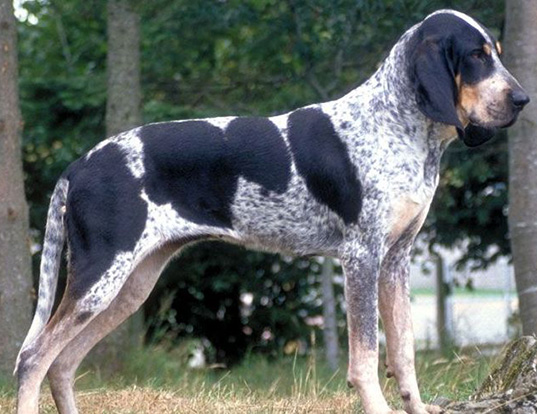 Picture of a chien francais blanc et noir