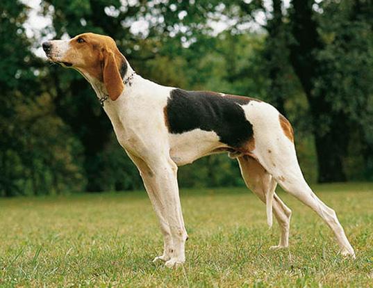 Picture of a chien francais tricolore