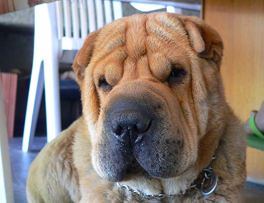 Picture of a chinese shar-pei