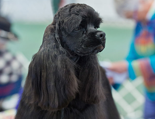 Picture of a cocker spaniel