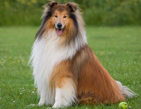Picture of a collie (rough)