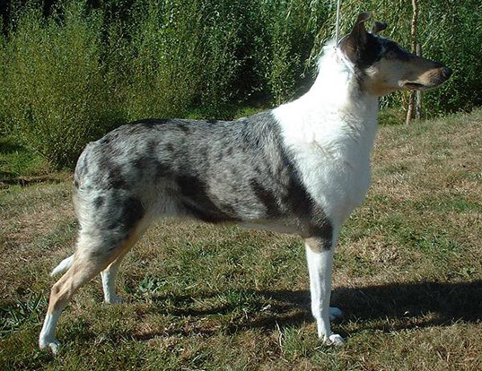 Picture of a collie (smooth)
