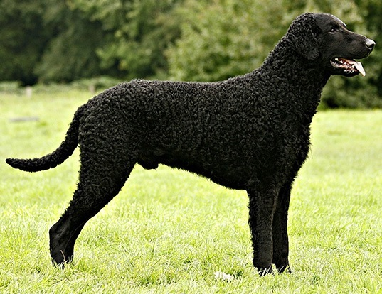 Picture of a curly-coated retriever