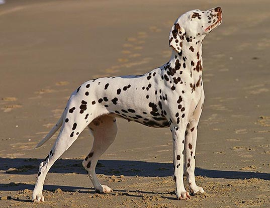 Picture of a dalmatian