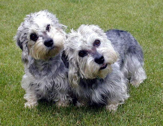 Picture of a dandie dinmont terrier