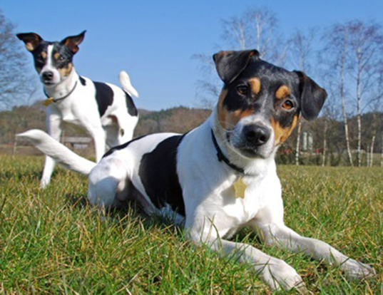 Picture of a danish-swedish farmdog