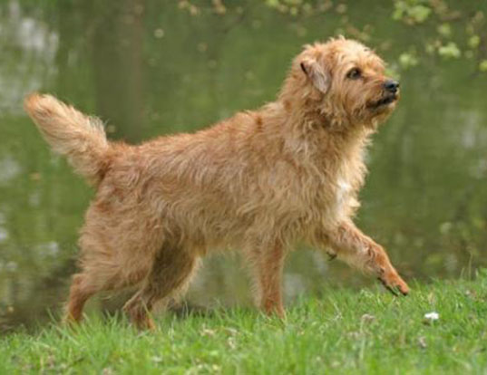 Picture of a dutch smoushond