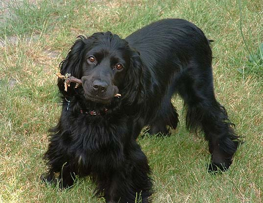 Picture of a english cocker spaniel