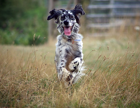 Picture of a english setter