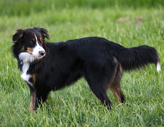 Picture of a english shepherd