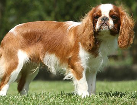 Picture of a english toy spaniel