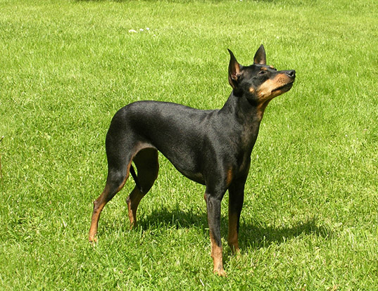 Picture of a english toy terrier (black & tan)