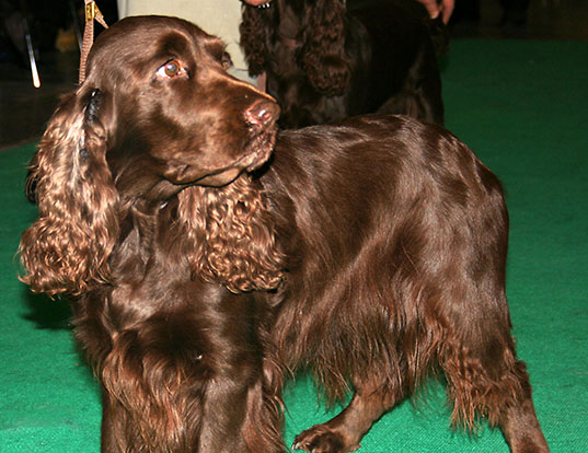 Picture of a field spaniel
