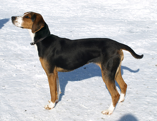Picture of a finnish hound