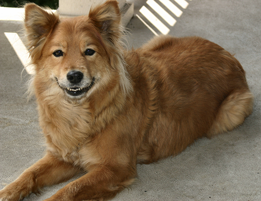 Picture of a finnish spitz