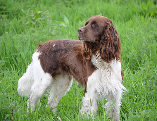 Picture of a french spaniel