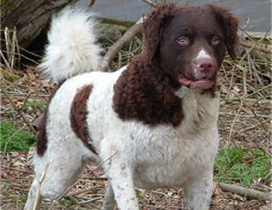 Picture of a fresian water dog