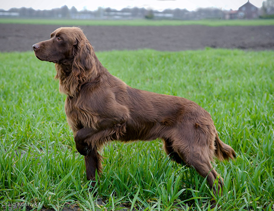 Picture of a german longhaired pointer