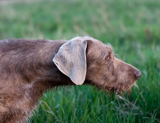 Picture of a german rough haired pointer