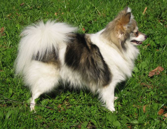 Picture of a german spitz