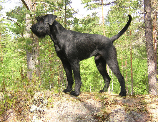 Picture of a giant schnauzer
