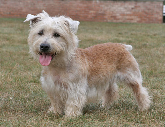 Picture of a glen of imaal terrier