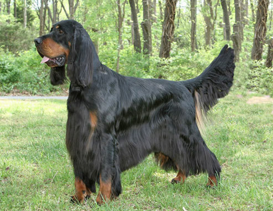 Picture of a gordon setter