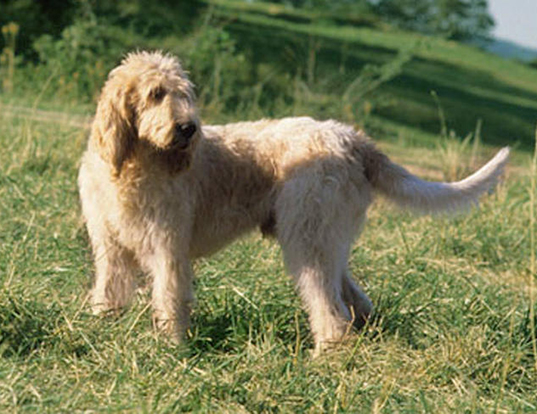 Picture of a grand griffon vendeen