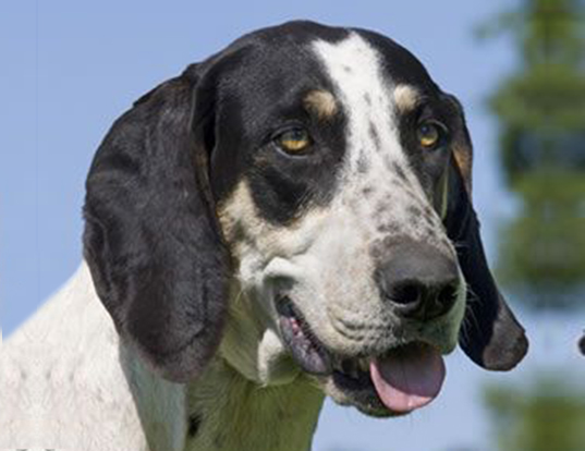 Picture of a great anglo-francais white and black hound