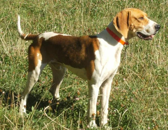 Picture of a great anglo-francais white and orange hound