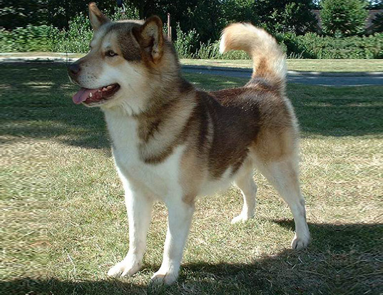 Picture of a greenland dog
