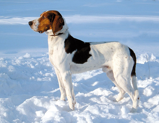 Picture of a haldenstover (halden hound)