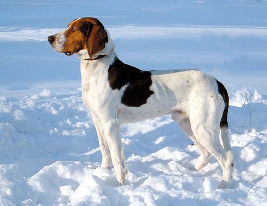 Picture of a haldenstover (halden hound)