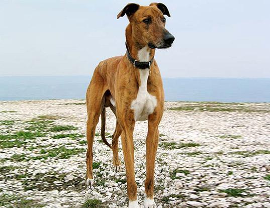 Picture of a hungarian greyhound (magyar agar)