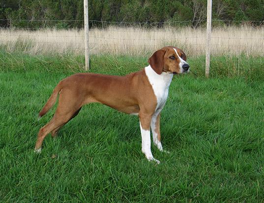 Picture of a hygen hound