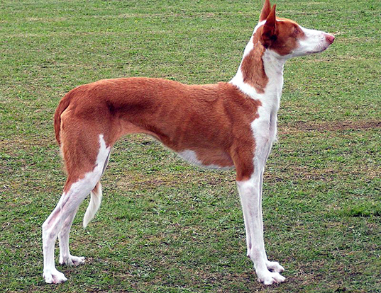 Picture of a ibizan hound