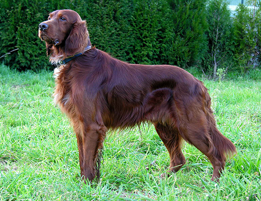 Picture of a irish setter