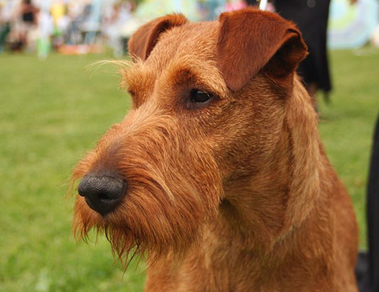 Picture of a irish terrier